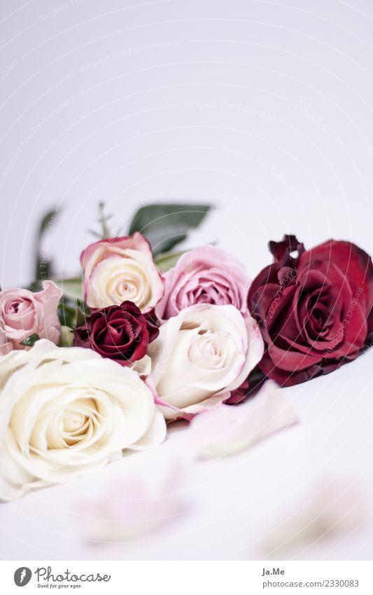 Möchtest du diese Rose annehmen? Natur Pflanze Frühling Blume Blüte Blumenstrauß Rosenblüte Rosenblätter Duft Fröhlichkeit frisch schön mehrfarbig grün rosa rot