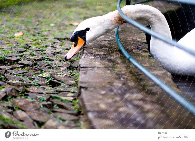 Grasen Natur Tier Kopf Stein Park Wildtier Tiergesicht Geländer Appetit & Hunger Barriere Hals Fressen Teich Schnabel Schwan Material