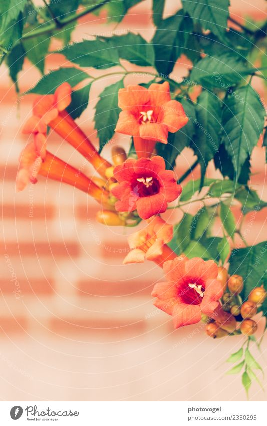 Trompeten Umwelt Natur Pflanze Blume Sträucher Blatt Blüte Trompetenbaum Trompetenbaumgewächse Garten hängen elegant wild grün orange Stimmung Freude Glück