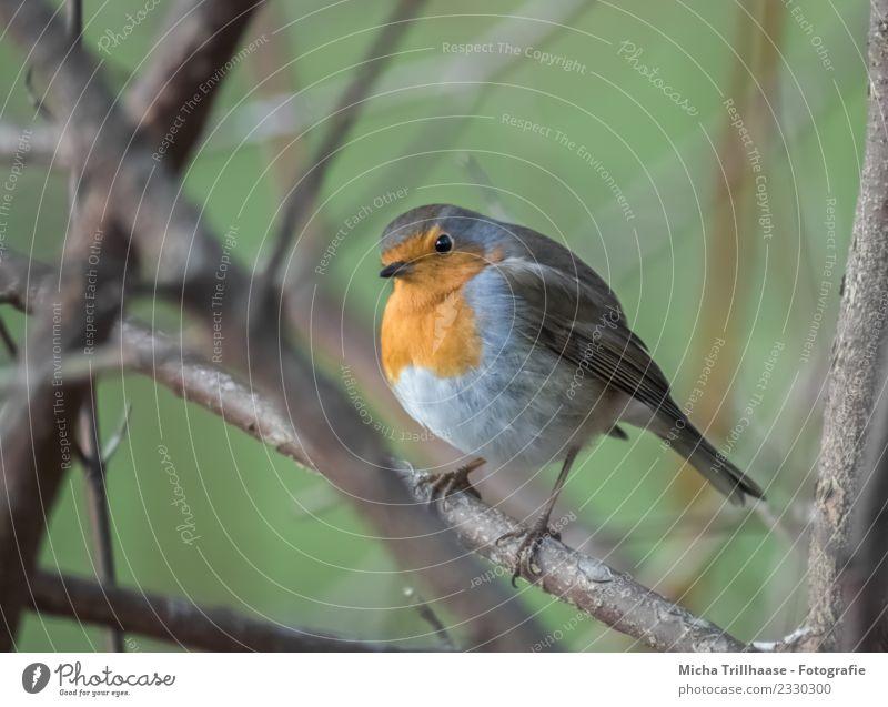Neugierig blickendes Rotkehlchen Natur Pflanze blau grün Sonne Baum Tier Umwelt Auge Vogel orange leuchten Wildtier Feder Schönes Wetter Flügel