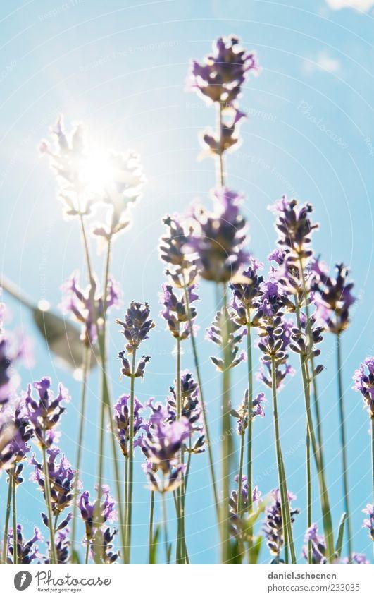 Gegenlichtsommerduft Duft Sommer Pflanze Wolkenloser Himmel Schönes Wetter blau grün weiß Lavendel Licht Sonnenlicht Sonnenstrahlen Menschenleer Unschärfe