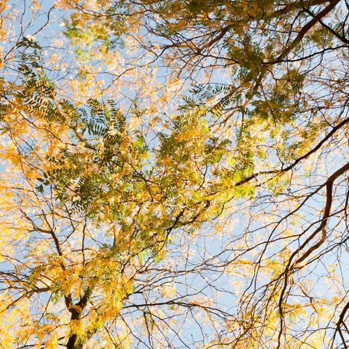 autumn networks Umwelt Natur Sommer Herbst Klima Schönes Wetter Pflanze Baum mehrfarbig gelb Baumkrone Blatt Hintergrundbild Himmel Jahreszeiten Farbfoto