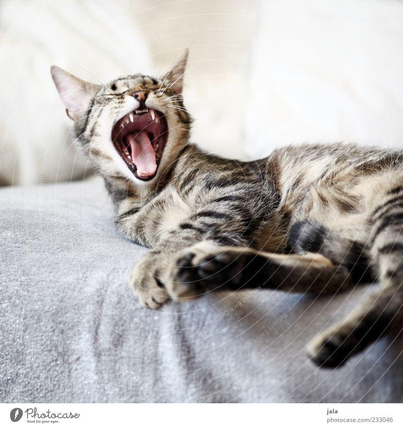 zum abgähnen... Katze Tier niedlich Fell Liege Gebiss Müdigkeit genießen Haustier Pfote Maul Schnurrhaar Gefühle