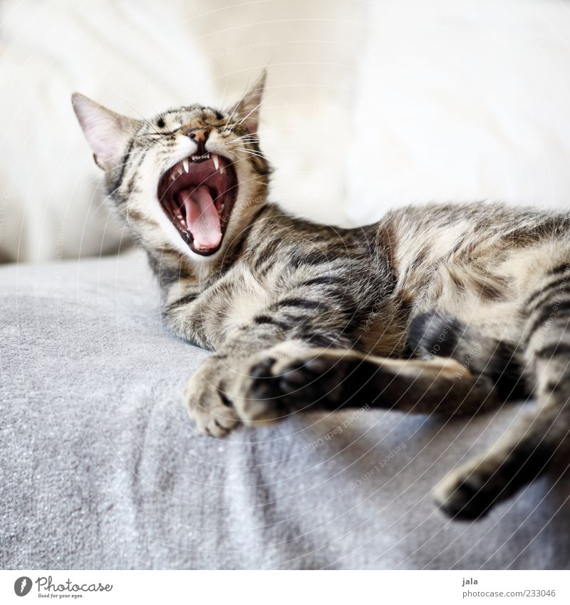zum abgähnen... Tier Haustier Katze 1 genießen Müdigkeit Farbfoto Innenaufnahme Menschenleer Hintergrund neutral Licht Tierporträt Gebiss Maul Fell Liege Pfote