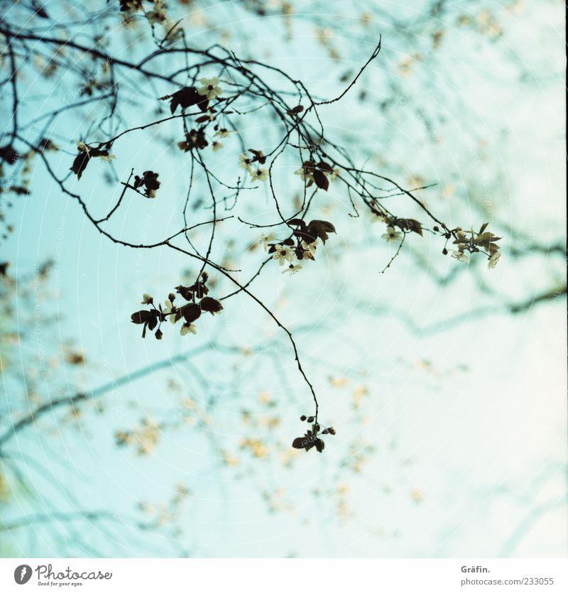 Zarter Frühling Natur blau grün Pflanze Blatt Umwelt Blüte frisch Wachstum Wandel & Veränderung Romantik Idylle Schönes Wetter Blühend Zweig