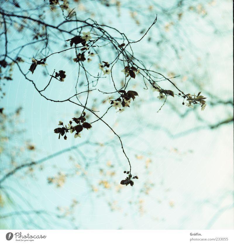 Zarter Frühling Natur blau grün Pflanze Blatt Umwelt Blüte Frühling frisch Wachstum Wandel & Veränderung Romantik Idylle Schönes Wetter Blühend Zweig