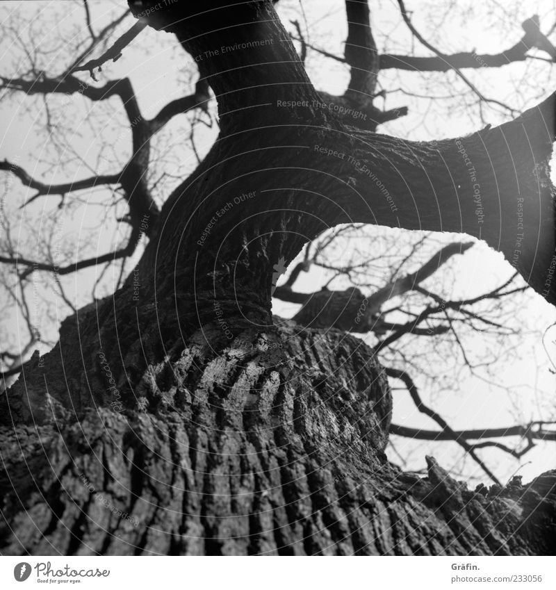 Habe viel erlebt... Natur Baum alt dick gigantisch grau schwarz weiß Kraft Eiche Baumstamm Ast Zweig Baumrinde verzweigt Schwarzweißfoto Außenaufnahme Tag Licht