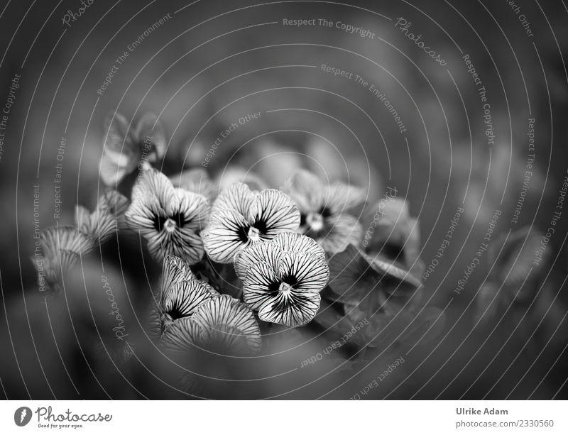 Gestreifte Stiefmütterchen ( Viola) mit weichem Bokeh Natur Pflanze Sommer weiß Blume dunkel schwarz Blüte Frühling Traurigkeit Garten Tod Park Blühend Streifen