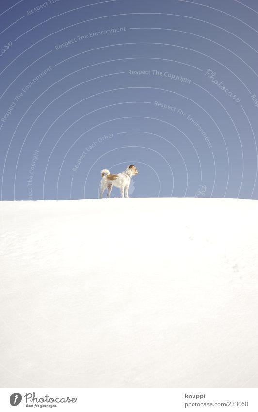 viel blau, viel weiss und ein kleines bisschen Hund Natur weiß Winter Tier Umwelt Schnee Tierjunges warten leuchten stehen beobachten Fell Hügel Schönes Wetter