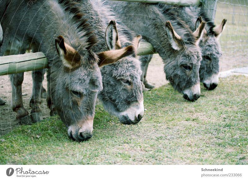 Mittagszeit Natur Tier Umwelt grau Gras Wildtier Tiergruppe Fell Zoo Zaun Fressen Esel Mähne Huf aufgereiht