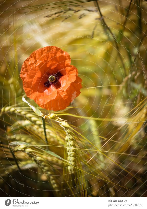 Mohnblume mit Ähren Natur Pflanze Sommer Blume Blüte Nutzpflanze Feld gold rot Mohnblüte Weizen Weizenfeld Weizenähre Farbfoto Außenaufnahme Menschenleer Tag