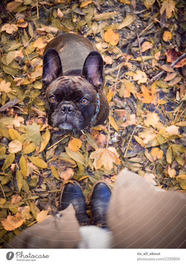 Barnie im Herbst Natur Tier Haustier Hund 1 braun Französische Bulldogge Frenchie Farbfoto Gedeckte Farben Außenaufnahme Vogelperspektive Tierporträt Blick