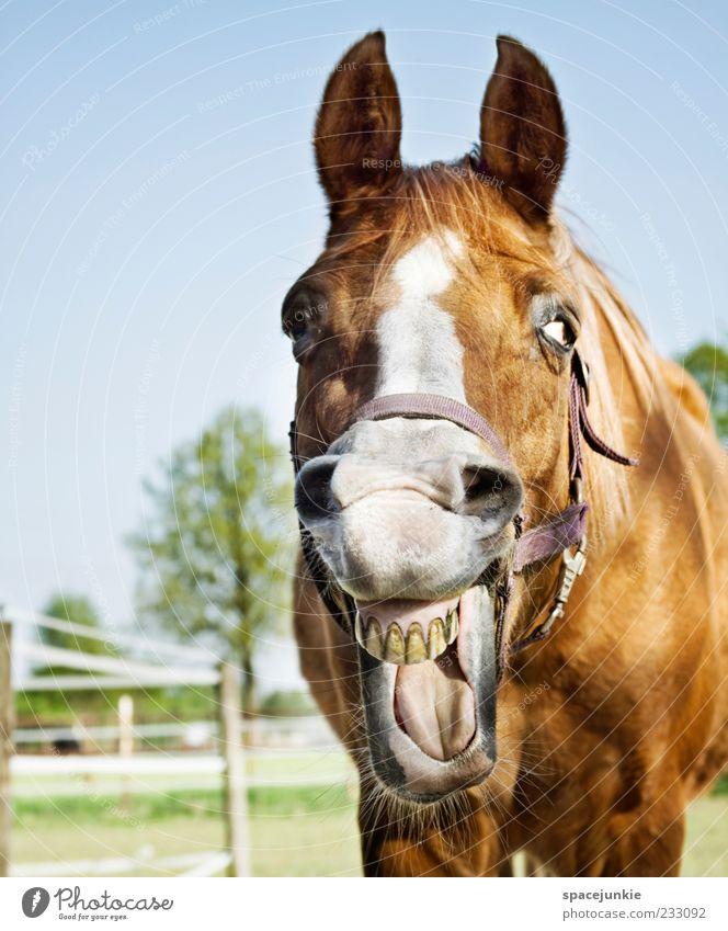 Happy horse Pferd Tiergesicht Fell entdecken lachen Zähne zeigen Blick Mähne wiehern Farbfoto Außenaufnahme Tierporträt Blick in die Kamera Pferdeschnauze