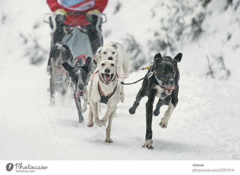 Schlittenhundegespann im Schnee Winter Hund Schlittenhundrennen Rudel sportlich authentisch elegant Zusammensein einzigartig muskulös Freude Lebensfreude Kraft
