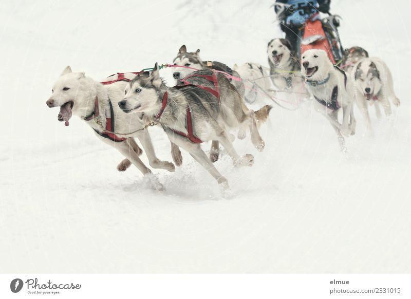 Schlittenhundegespann in voller Fahrt Winter Schnee Hund Schlittenhundrennen Musher Tiergruppe laufen ästhetisch sportlich authentisch Zusammensein muskulös
