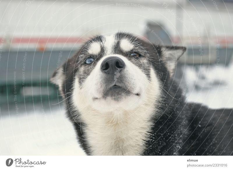 Portait eines Schlittenhundes Winter Hund Husky Schnauze Auge Fell Fellzeichnung Kommunizieren Blick sportlich authentisch elegant schön kuschlig natürlich