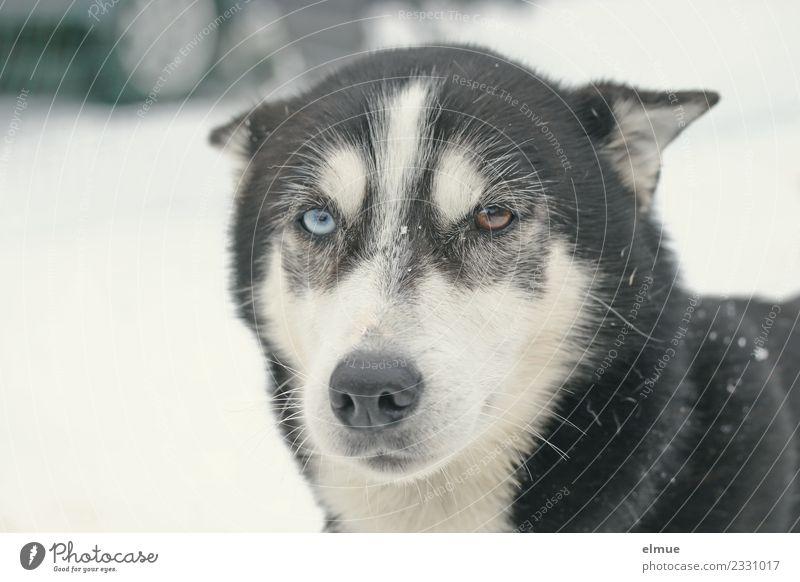 Schlittenhundportrait Freizeit & Hobby Winter Hund Husky Nase Schnauze Fell beobachten Kommunizieren Blick sportlich blau braun Kraft Mut Vertrauen Tierliebe