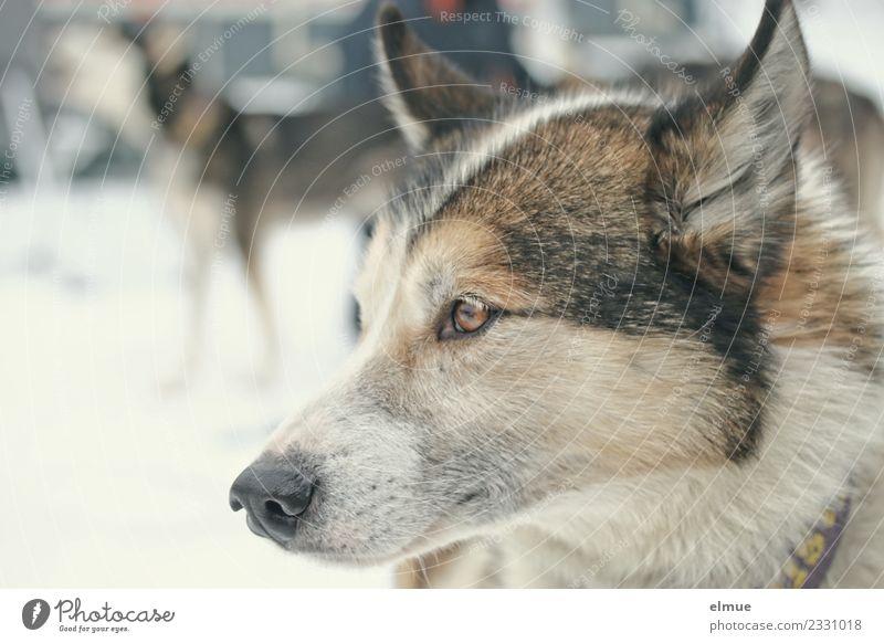 Schlittenhundportrait Hund Husky Fell Ohr Schnauze hören Blick ästhetisch sportlich authentisch Zufriedenheit Lebensfreude Vorfreude Kraft Tierliebe Wachsamkeit