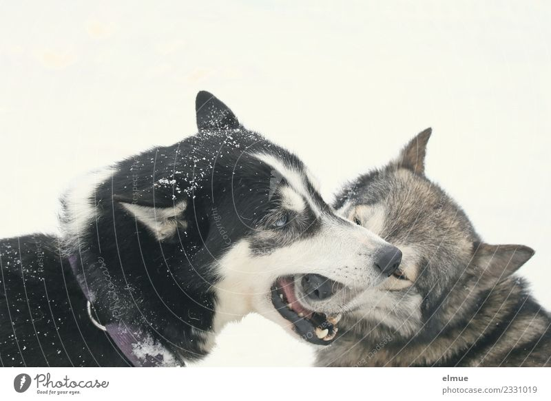 zwei spielende Huskies Winter Schnee Hund Husky Schlittenhund Schlittenhundrennen Fell Schnauze Spielen ästhetisch authentisch Gesundheit Zusammensein Glück