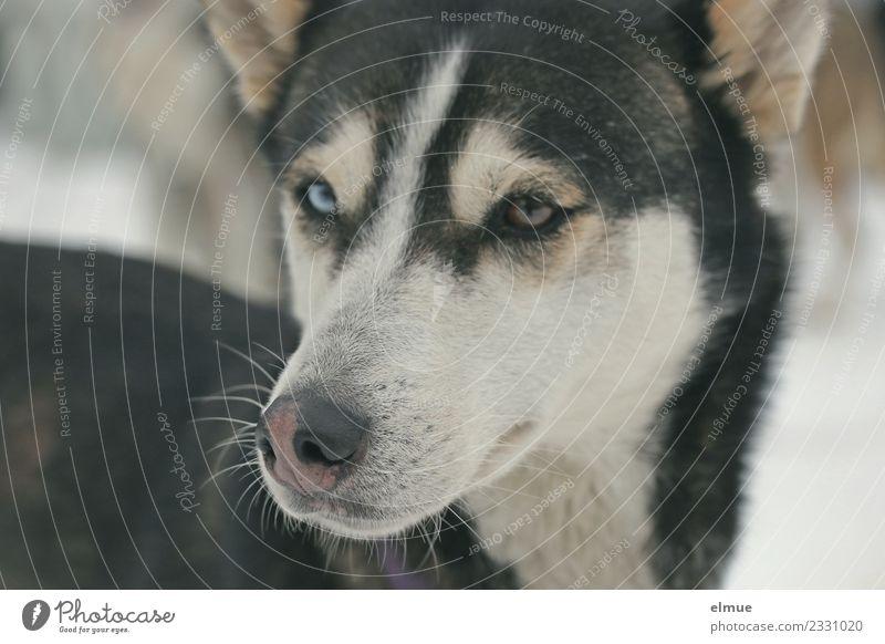 Portrait eines Huskys Winter Hund Schlittenhund Schlittenhundrennen Schnauze Auge Fell Fellzeichnung Nase Blick warten ästhetisch sportlich elegant kuschlig