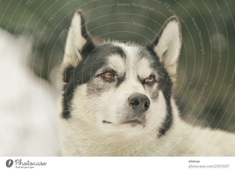 Portrait eines Huskys Winter Schnee Hund Schlittenhund Ohr Auge Schnauze Fell beobachten hören Blick ästhetisch sportlich authentisch kuschlig nah Kraft
