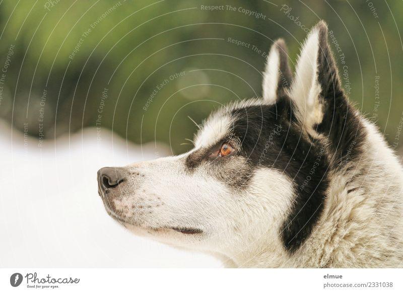 Portrait eines Huskys Winter Schnee Hund Schlittenhund Fell Ohr Schnauze Auge hören Blick ästhetisch sportlich authentisch elegant kuschlig nah schön