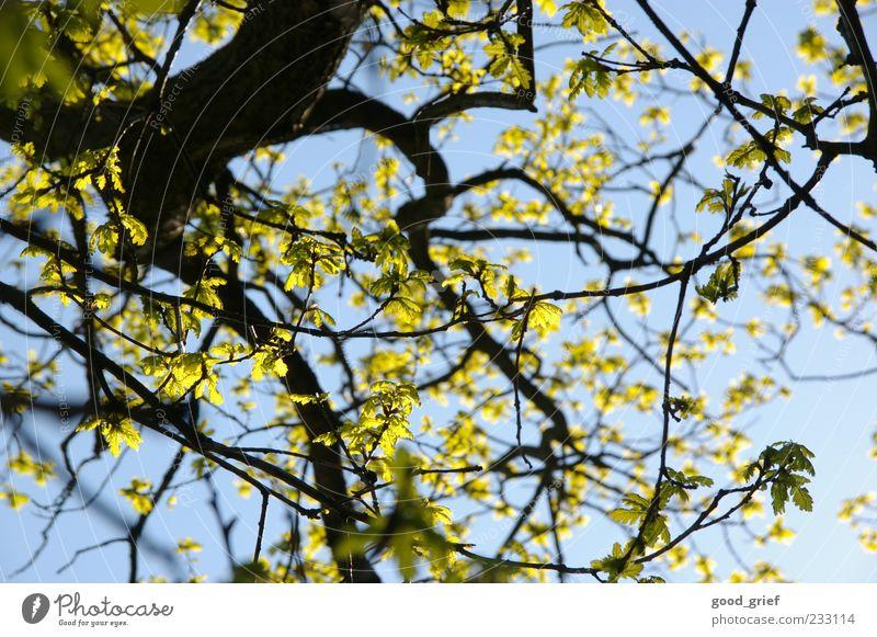 spring (-'break' kommt noch) Umwelt Natur Pflanze Himmel Klima Schönes Wetter blau mehrfarbig gelb grün Baum Ast Zweig Zweige u. Äste Blatt Blauer Himmel