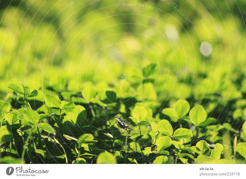 Glücksmoment Natur grün Pflanze gelb Wiese Stimmung natürlich positiv Optimismus Grünpflanze Frühlingsgefühle Nutzpflanze Glücksbringer Glücksklee