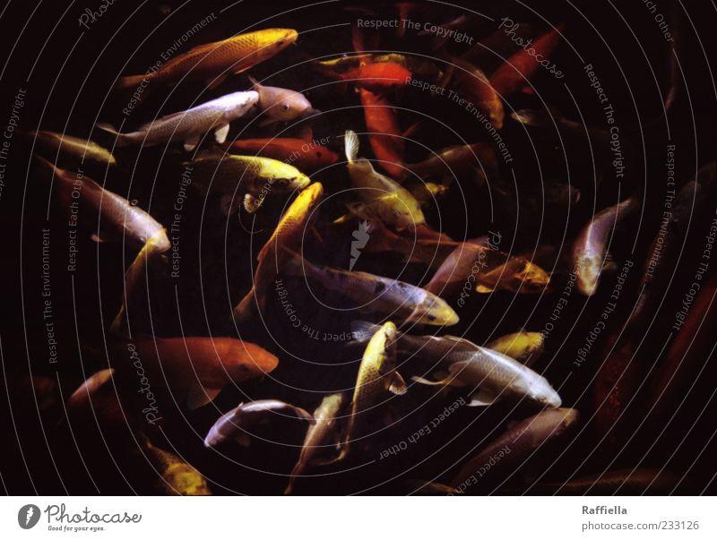 disorder rot Tier gelb dunkel Bewegung gold Schwimmen & Baden Fisch Tiergruppe Doppelbelichtung Schwarm Goldfisch Koi Karpfen Fischschwarm