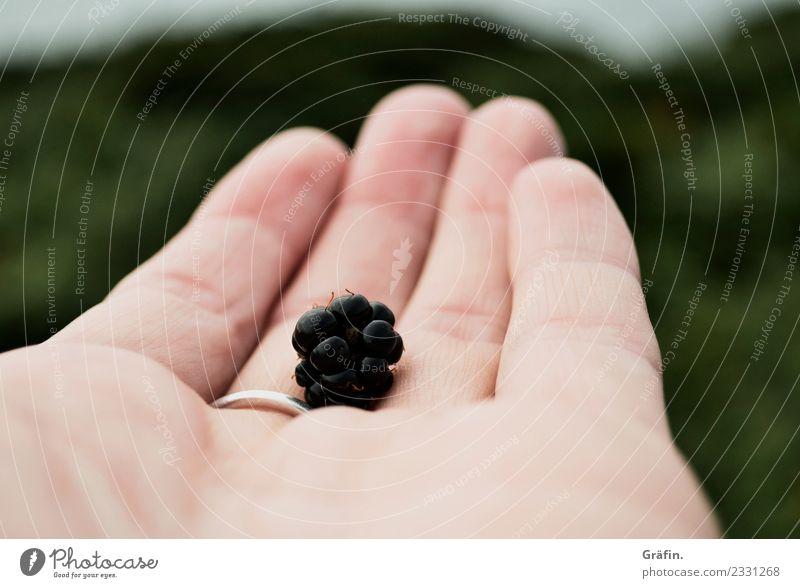 Brombeer Ernte feminin Hand Finger 1 Mensch 30-45 Jahre Erwachsene Umwelt Natur Landschaft Pflanze Sommer Herbst Wildpflanze Brombeeren Essen Gesundheit
