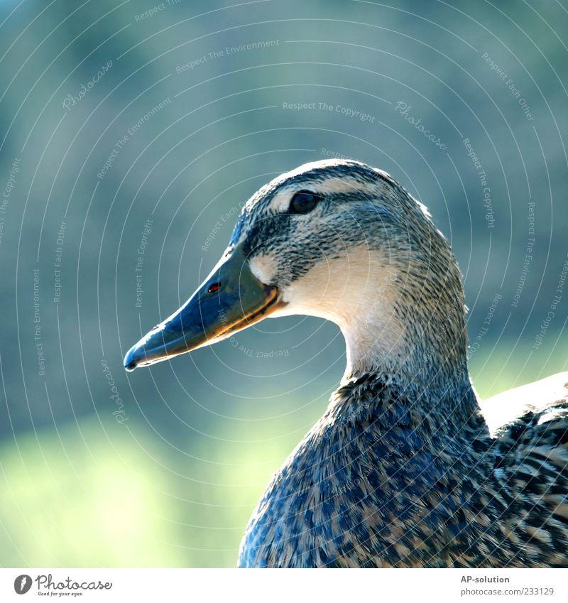 Ente Tier Kopf Vogel Feder Tiergesicht Schnabel Nutztier Erpel