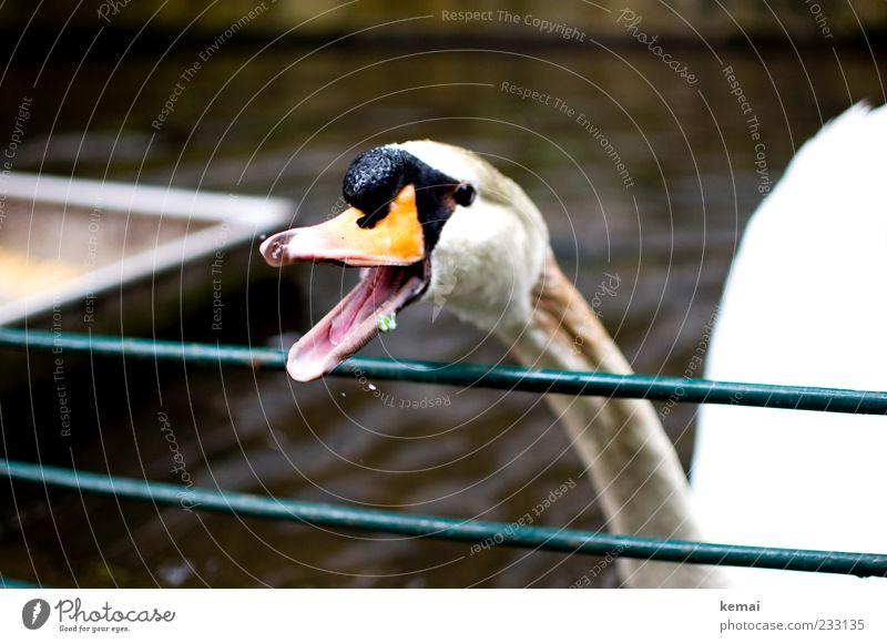 Schnabel aufreißen Umwelt Natur Tier Wildtier Schwan Tiergesicht Kopf 1 schreien Aggression Wut offen Zunge gefährlich Farbfoto Außenaufnahme Tag Kontrast