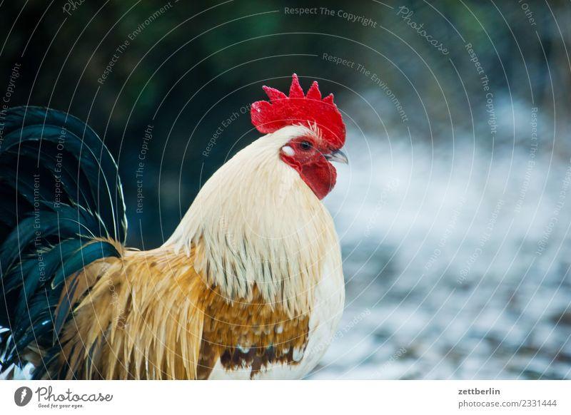 Hahn again Haushuhn Hühnervögel Vogel Geflügel Tier Geflügelfarm Hühnerei Hühnerfeder Viehhaltung Tierhaltung artgerecht Bioprodukte Biologische Landwirtschaft
