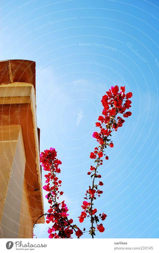 Irgendwann musste es soweit kommen ..... Wolkenloser Himmel Frühling Schönes Wetter Pflanze Blüte Mauer Wand Dach Blühend Duft ästhetisch schön trocken blau rot
