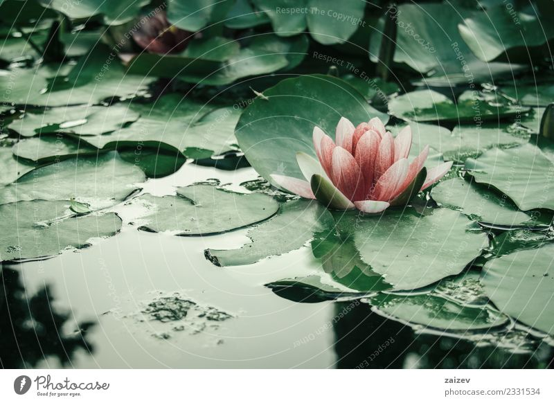 rosa Wasserblume, die auf einem See mit Blättern schwebt. elegant schön Sommer Garten Natur Pflanze Frühling Blume Blatt Blüte Wildpflanze Park Teich Liebe
