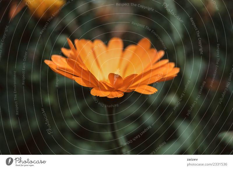 eine einzelne orangefarbene Blume der Ringelblume officinalis Topf schön Sommer Garten Natur Pflanze Frühling Blüte Wildpflanze Park Wiese Feld natürlich grün