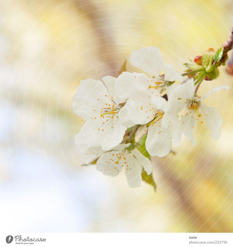 Versuchung Duft Umwelt Natur Pflanze Frühling Blüte Blühend Wachstum frisch hell natürlich gelb weiß Stimmung Frühlingsgefühle Blütenblatt zart Apfelblüte