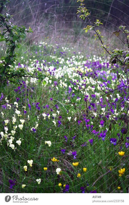 englischer Garten Natur weiß grün schön Pflanze Sommer Blume gelb Umwelt Wiese Gras Blüte Frühling wild frisch Alpen