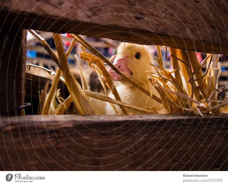 Neugieriges Gänseküken Tier Nutztier Tiergesicht Flügel 1 Tierjunges beobachten entdecken füttern Blick träumen blond frech klein niedlich gelb Freude Sympathie