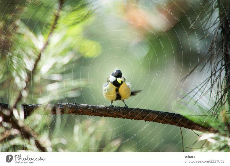 Titte schön Winter Garten Umwelt Natur Tier Baum Park Wald Vogel sitzen hell klein natürlich wild blau gelb grün weiß Vertrauen Appetit & Hunger Farbe Meise