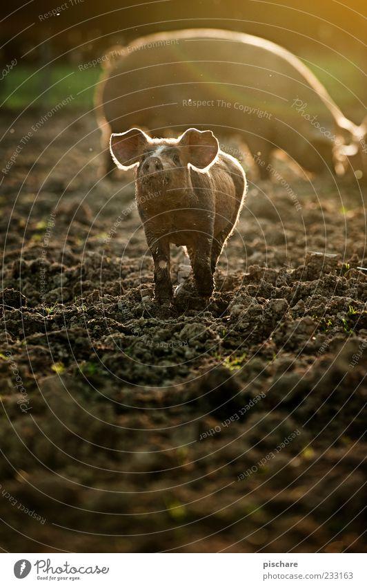 Babe Natur Glück lustig Tierjunges natürlich Boden niedlich Ohr Weide Bauernhof Geruch ökologisch Hausschwein Biologische Landwirtschaft Schwein Nutztier