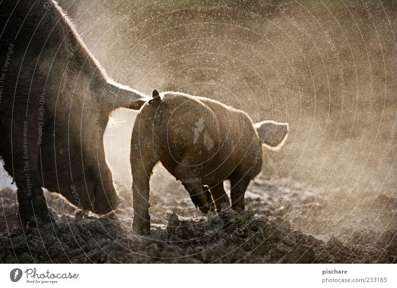 Schweinerei Natur Tierjunges Erde laufen Bauernhof Lebensfreude Hausschwein Schwein Nutztier Tier Nachkommen Vieh Ausgelassenheit Sau Ferkel Licht