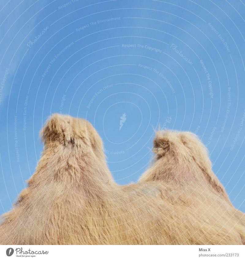 wer bin ich Wolkenloser Himmel Tier Nutztier Wildtier Fell 1 kuschlig Kamelhöcker Farbfoto mehrfarbig Außenaufnahme Detailaufnahme Menschenleer