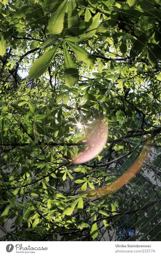 Frühling im Hof Natur Pflanze Schönes Wetter Baum Blatt Kastanienbaum glänzend hängen leuchten Wachstum natürlich viele grün Frühlingsgefühle Kraft Schutz