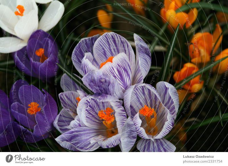Krokusse in Blütezeit Umwelt Natur Pflanze Frühling Blume Wildpflanze Topfpflanze Garten frisch Zusammensein schön natürlich viele mehrfarbig violett orange