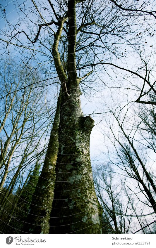 Hoch hinaus Himmel Natur alt grün Baum Blatt Wolken Wald Umwelt Herbst Landschaft Luft hoch Ast Schönes Wetter Baumstamm