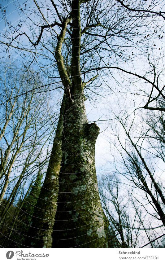 Hoch hinaus Umwelt Natur Landschaft Himmel Wolken Schönes Wetter Baum Wald atmen hoch Blatt grün Moos alt Baumstamm Ast Luft Farbfoto Außenaufnahme Menschenleer