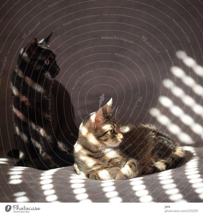 brüder Katze schön Tier sitzen Tierpaar liegen Liege Sofa genießen Haustier Hauskatze hocken Lichteinfall