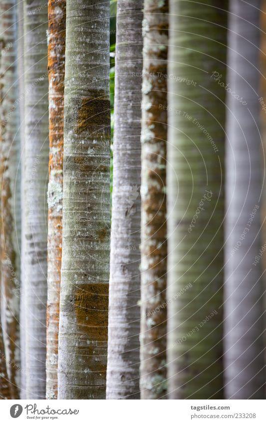 ZUCHTHAUS Baum Baumstamm Reihe Linie gerade parallel Mauritius Baumrinde Natur natürlich züchten Pflanze Baumreihe Garten Gartenbau Textfreiraum rechts
