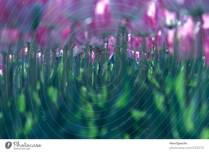 Monokultur Frühling Blume Tulpe Blatt Blüte grün rosa Stengel viele Blumenbeet Blühend Blühende Landschaften Blütenkelch Farbfoto Außenaufnahme Nahaufnahme